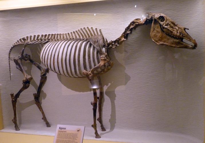 Equus simplicidens 51286637401_b0a7bf8caf_o