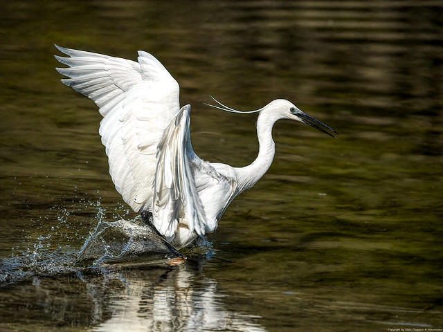 Aigrette garzette (Egretta garzetta) - Little Egret