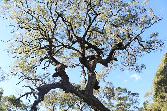 Grey ironbark (Eucalyptus paniculata)