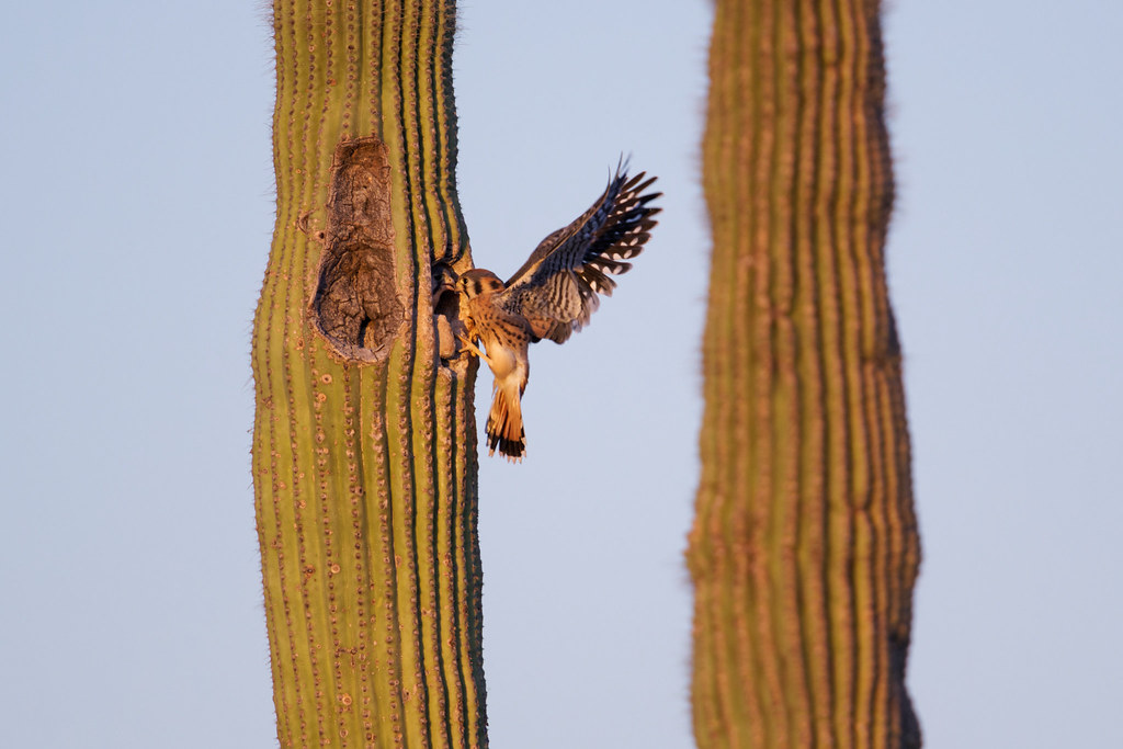 A male kestrel recovers after being surprised to find one of the nestlings looking out from the nest entrance in a saguaro. Taken near sunset at George Doc Cavalliere Park in Scottsdale, Arizona on June 6, 2021. Original: _RAC3483.arw
