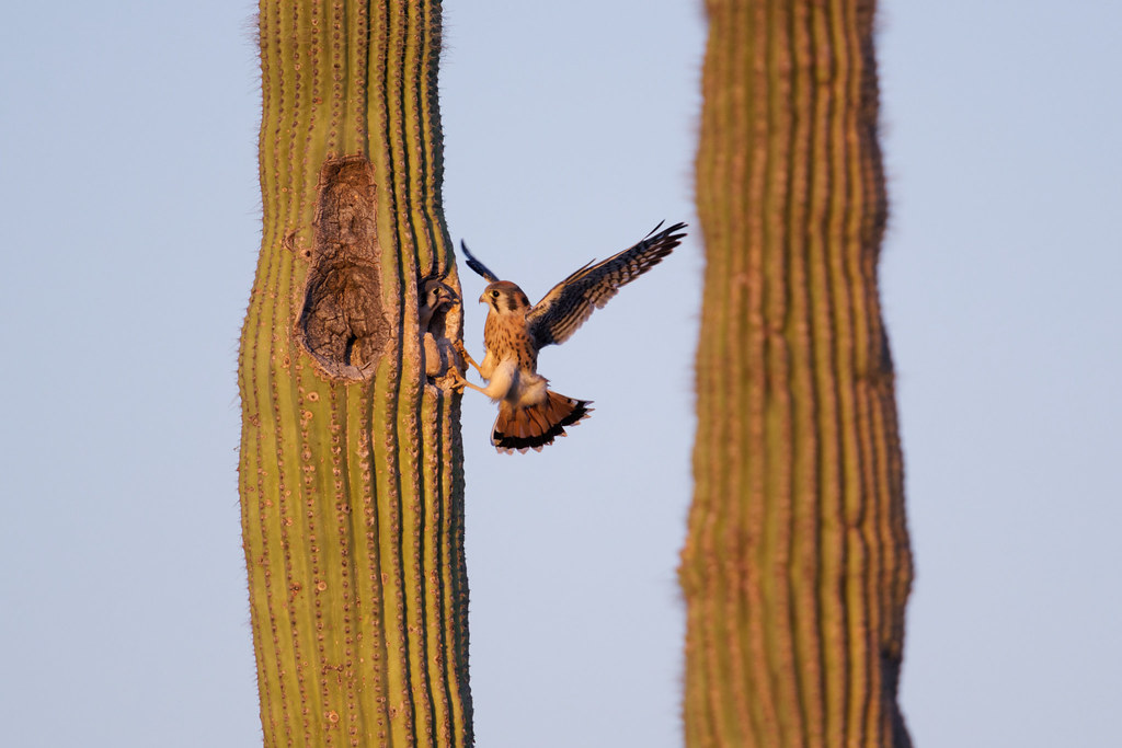 A male kestrel starts to fall backwards after being surprised to find one of the nestlings looking out from the nest entrance in a saguaro. Taken near sunset at George Doc Cavalliere Park in Scottsdale, Arizona on June 6, 2021. Original: _RAC3477.arw