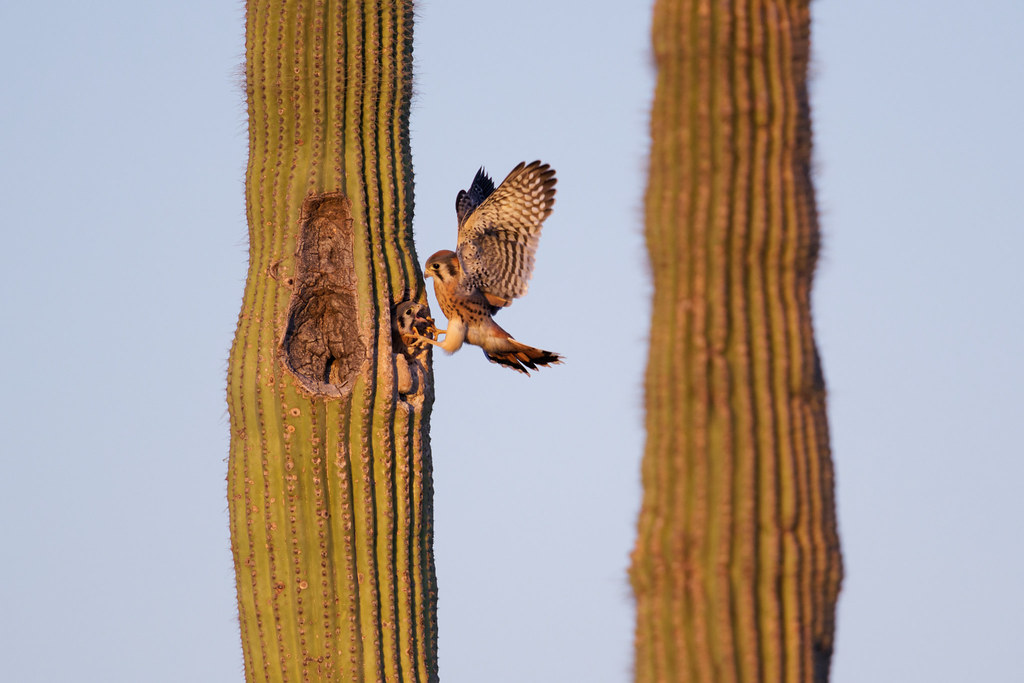 A male kestrel prepares to land at his nest in a saguaro but is surprised to find one of the nestlings looking out from the nest entrance. Taken near sunset at George Doc Cavalliere Park in Scottsdale, Arizona on June 6, 2021. Original: _RAC3468.arw