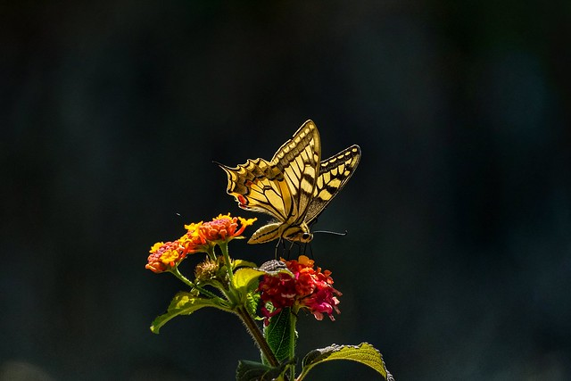 Swallowtail butterfly - borboleta-cauda-de-andorinha (Papilio machaon)