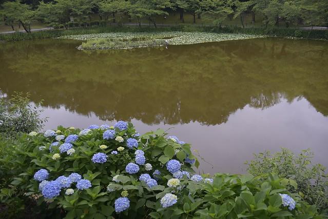 奥卯辰山健民公園の水蓮と紫陽花