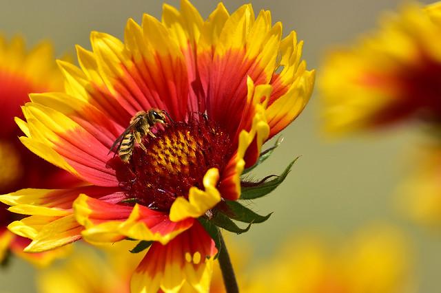 DSC_5049 Insecte sur une fleur