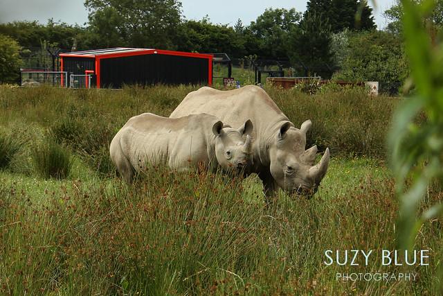 Eastern Black Rhinos