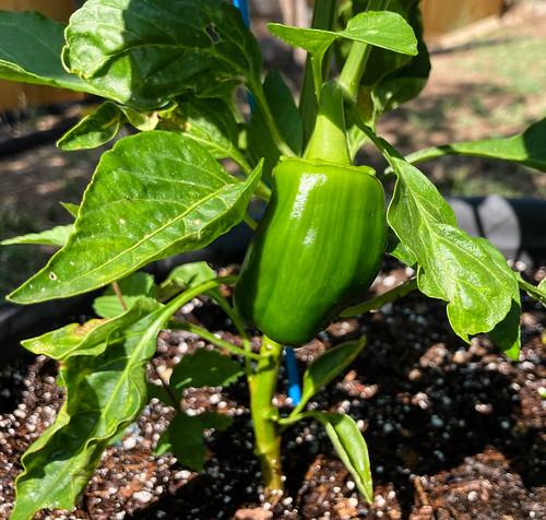 bell_pepper-20210703-100