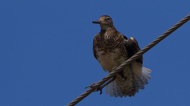 Willet on a wire.