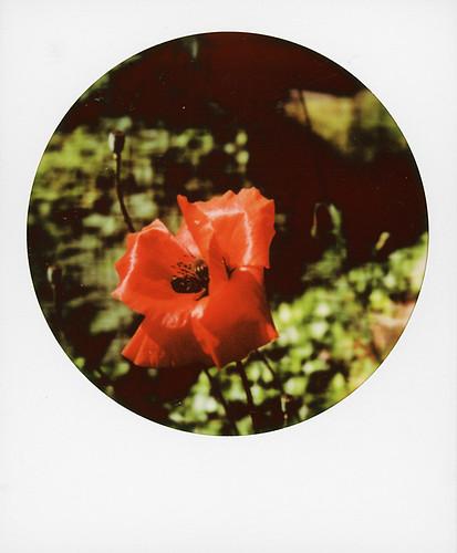 Red poppy ...