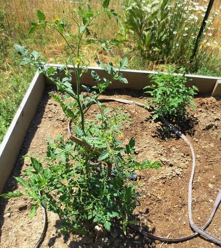 Tomato Plants 2021