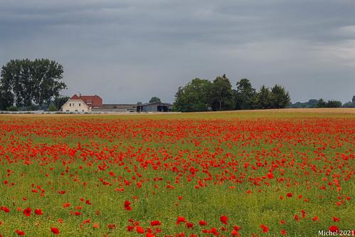 champ de coquelicots , poppy field
