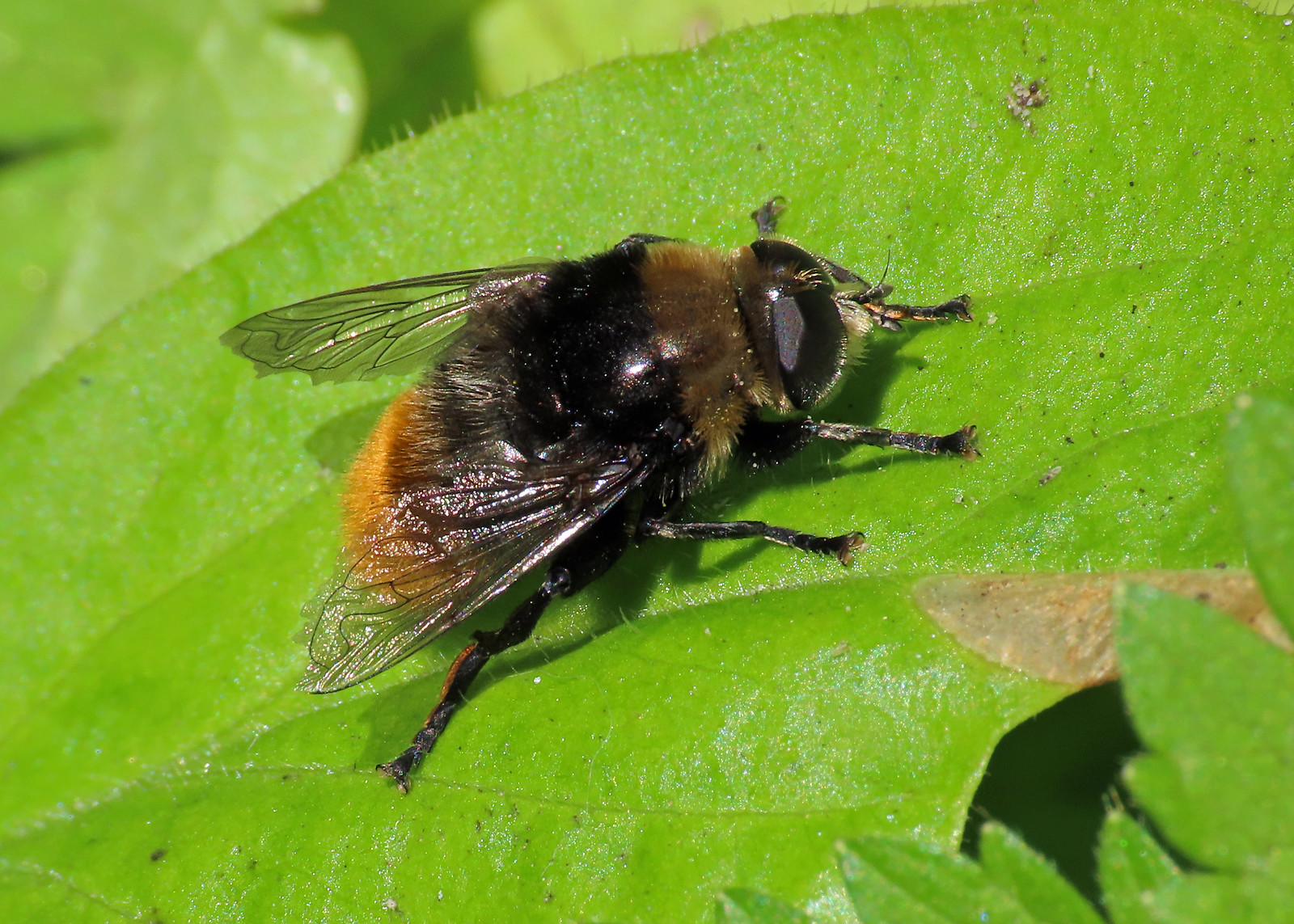 Greater Bulb-Fly - Merodon equestris