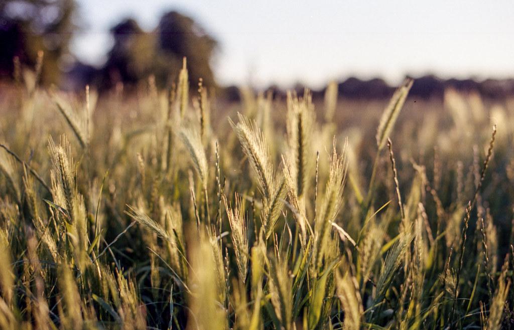 Cambridge, falta trigo