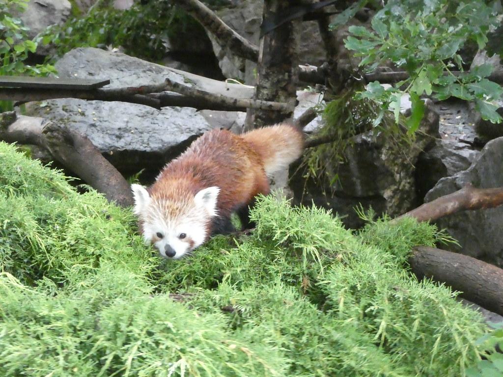 A red panda in Bristol Zoo