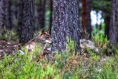 Lobo ibérico- Canis lupus signatus