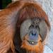 "<p><a href=""https://www.flickr.com/people/154721682@N04/"">Joseph Deems</a> posted a photo:</p>  <p><a href=""https://www.flickr.com/photos/154721682@N04/51288757752/"" title=""Kajan - male Orangutan""><img src=""https://live.staticflickr.com/65535/51288757752_659a57625f_m.jpg"" width=""199"" height=""240"" alt=""Kajan - male Orangutan"" /></a></p>  <p>Fort Worth Zoo</p>"