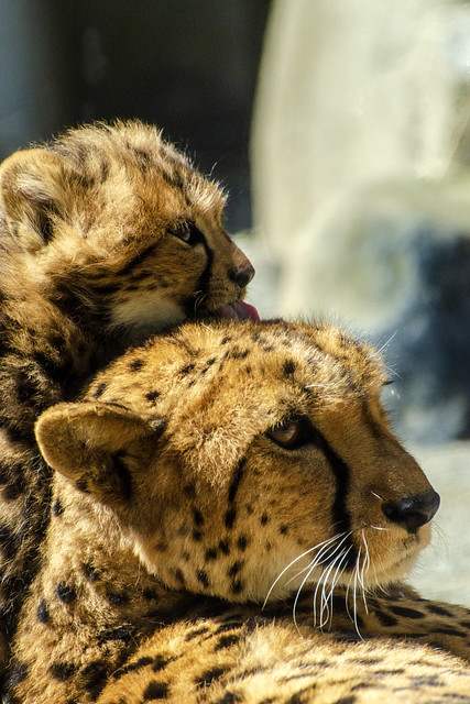 130322-102447-Cute cheetah cub lickings his mother in Tama Zoological Garden