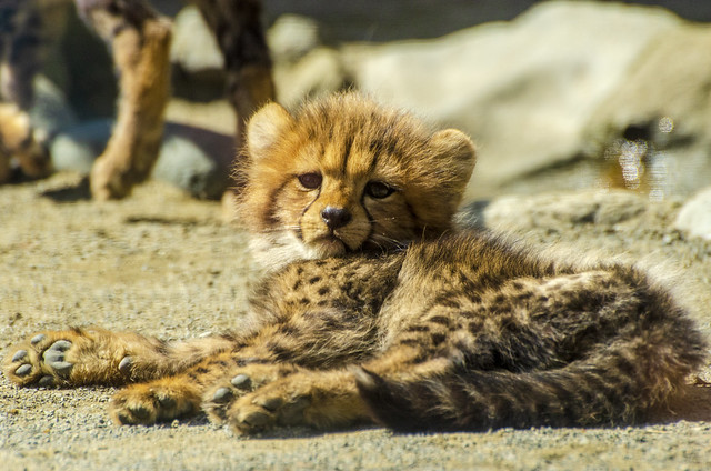 130322-103256-A cute cheetah cub in Tama Zoological Garden