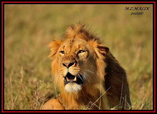 KING OF THE JUNGLE (Panthera leo)....MASAI MARA......OCT,2020.