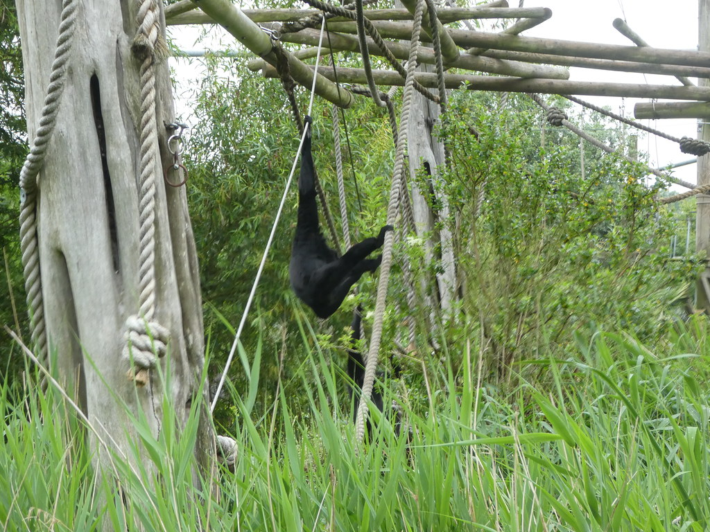 A gorilla swinging from branches in Bristol Zoo