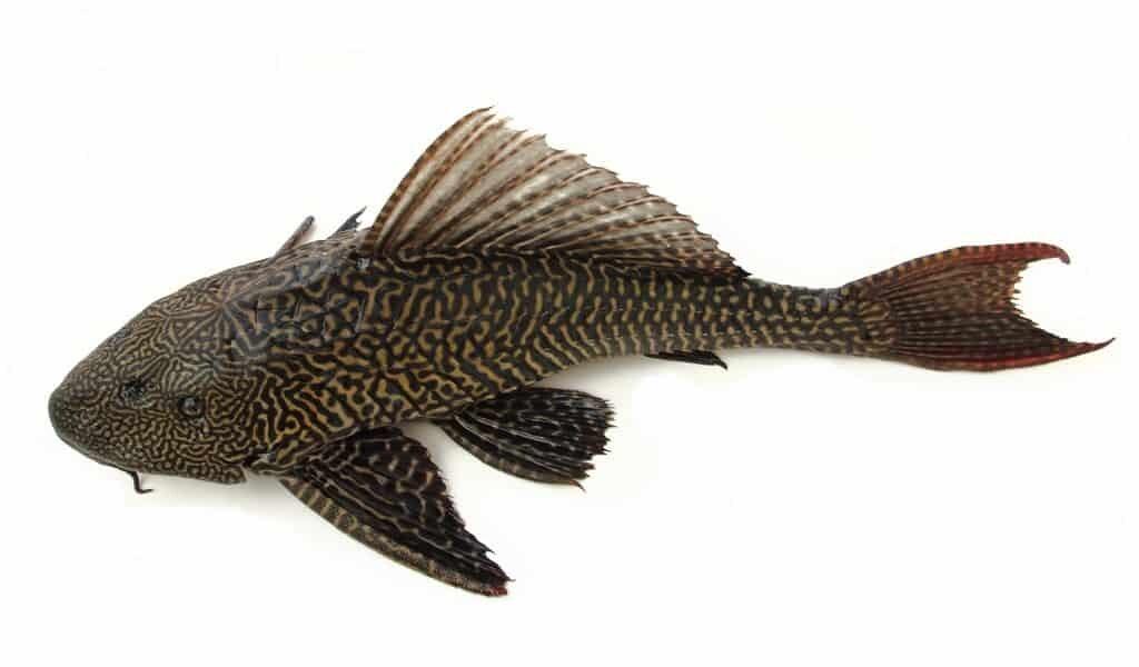 le-poisson-chat-blindé