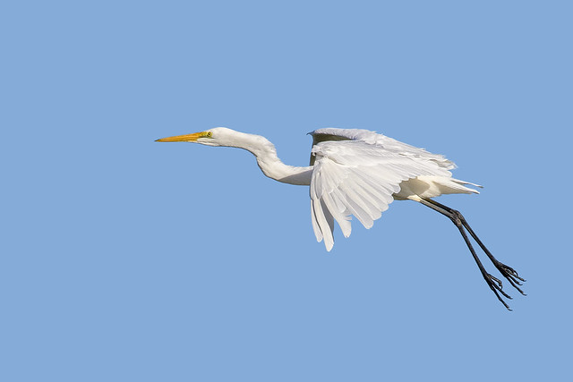 lagoon creek - eastern great egret