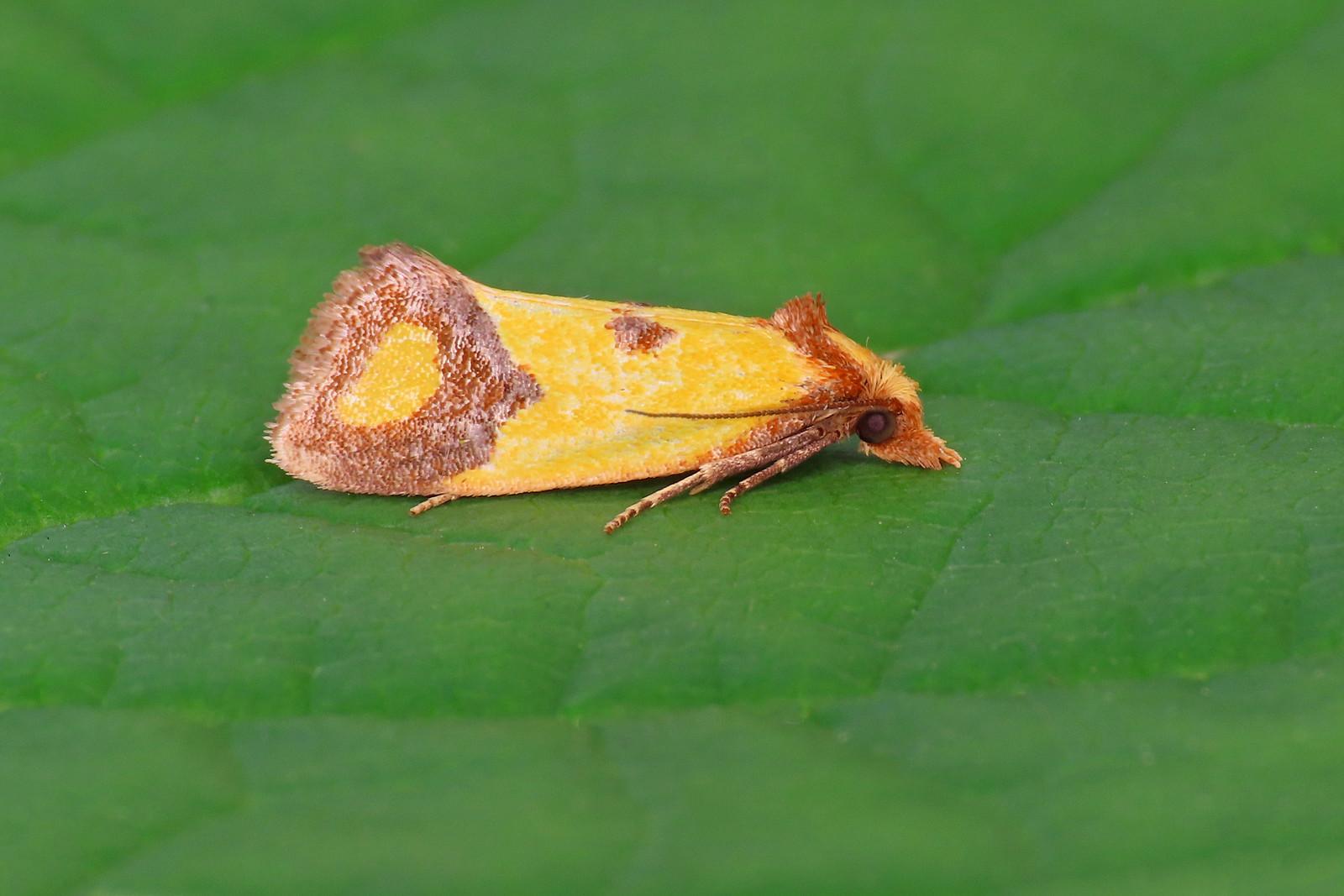 49.110 Knapweed Conch - Agapeta zoegana