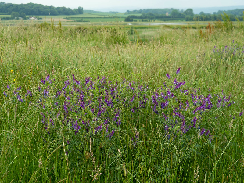 Vetch at Steart Marshes