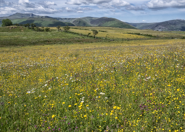 Wildflower Meadow, Eycot Hill Nature Reserve