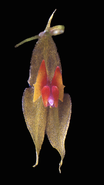 Lepanthes muscula, Little Mouse Orchid