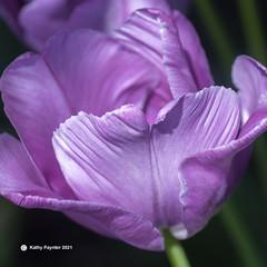 Tulip 3797