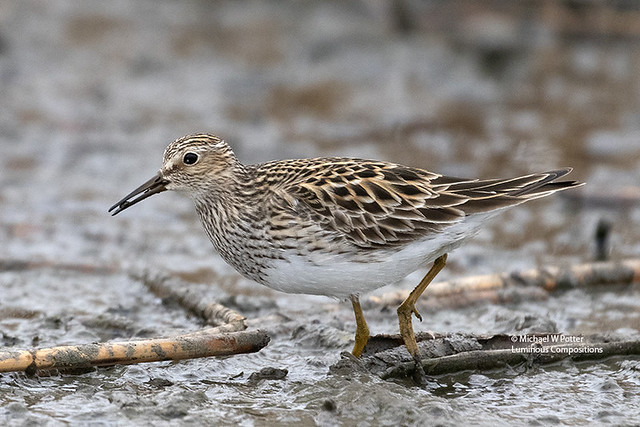 Pectoral Sandpiper with food