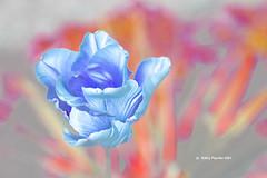 Tulip 3872