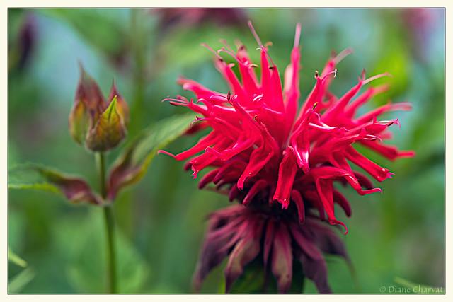 Scarlet Bee Balm