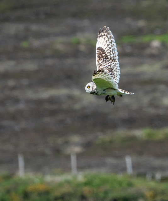 Short-eared Owl with Vole 244_1075