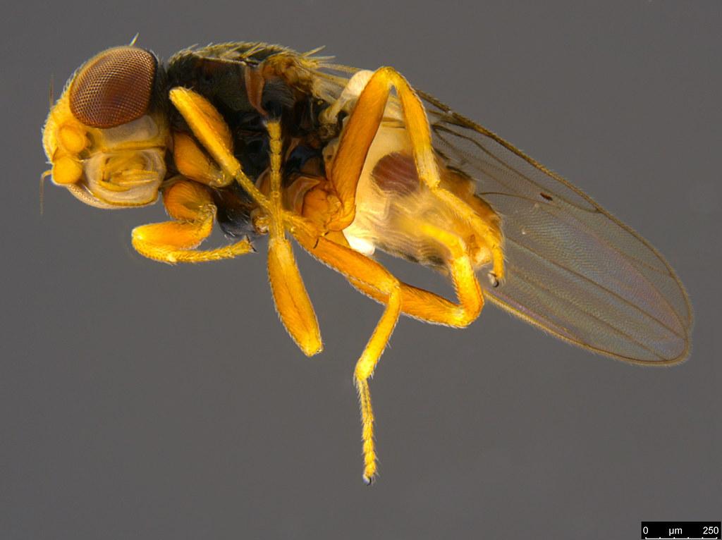 5c - Tricimba sp.