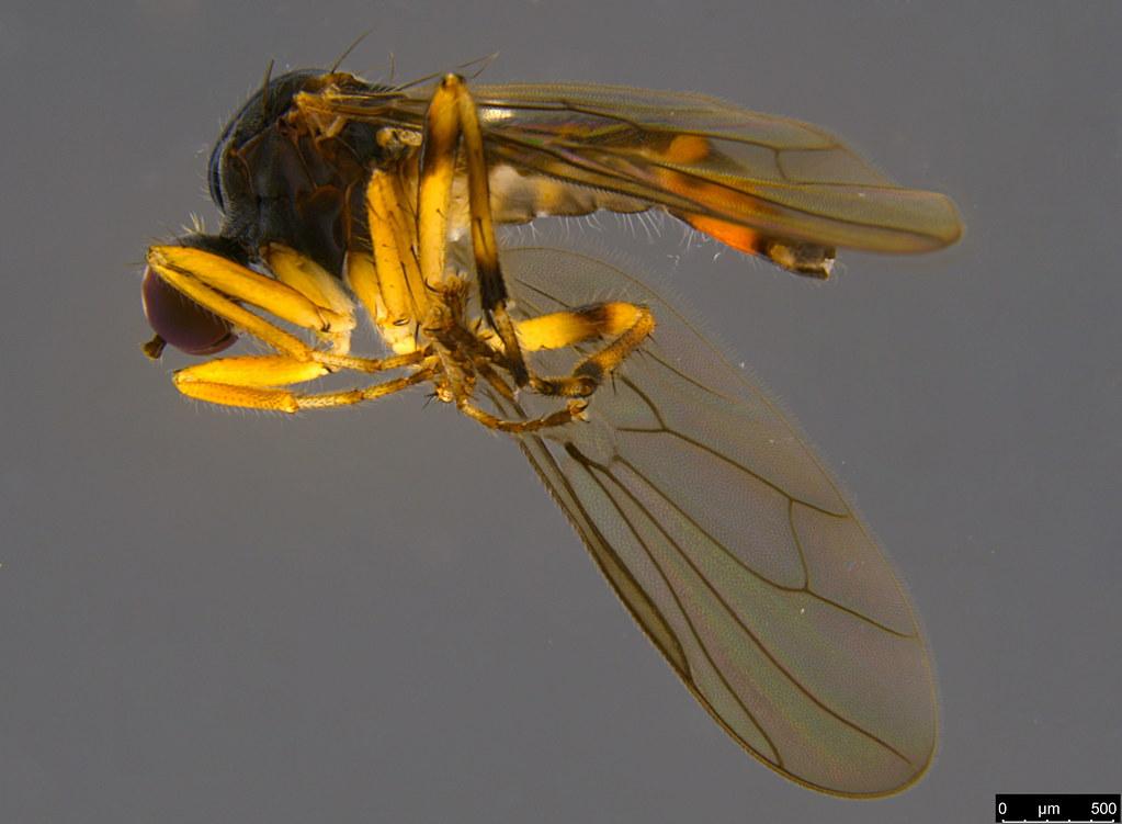 9b - Ocydrominae sp.