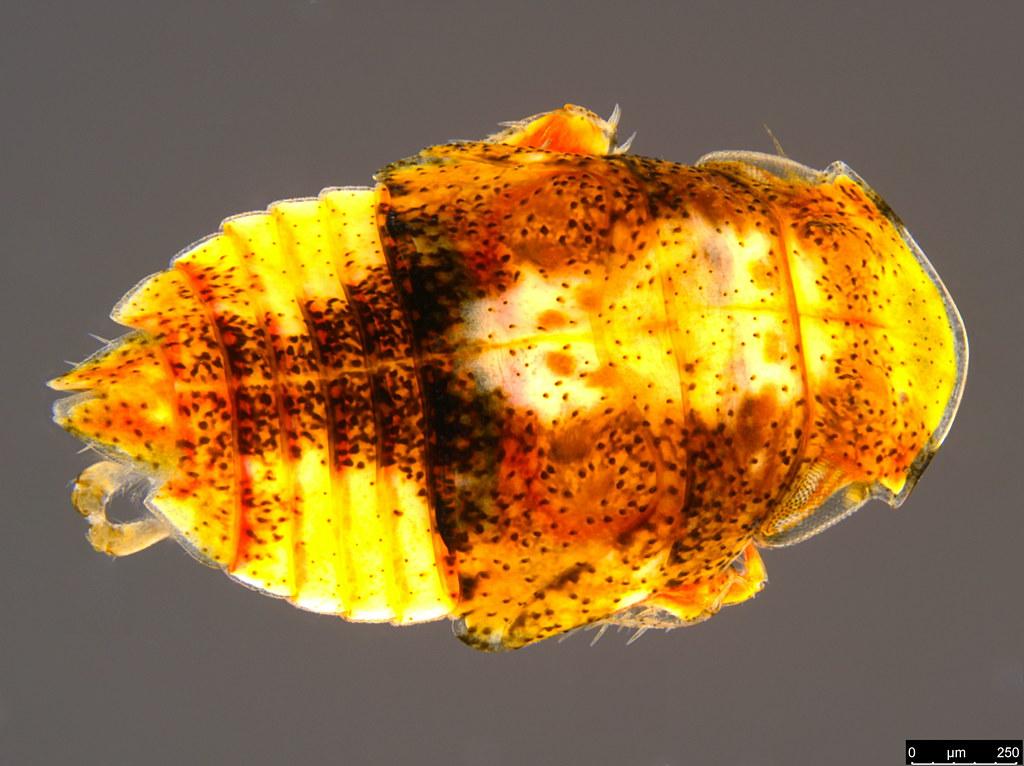 12a - Stenocotini sp.