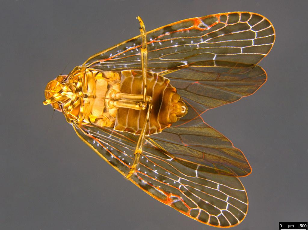 14b - Auchenorrhyncha sp.