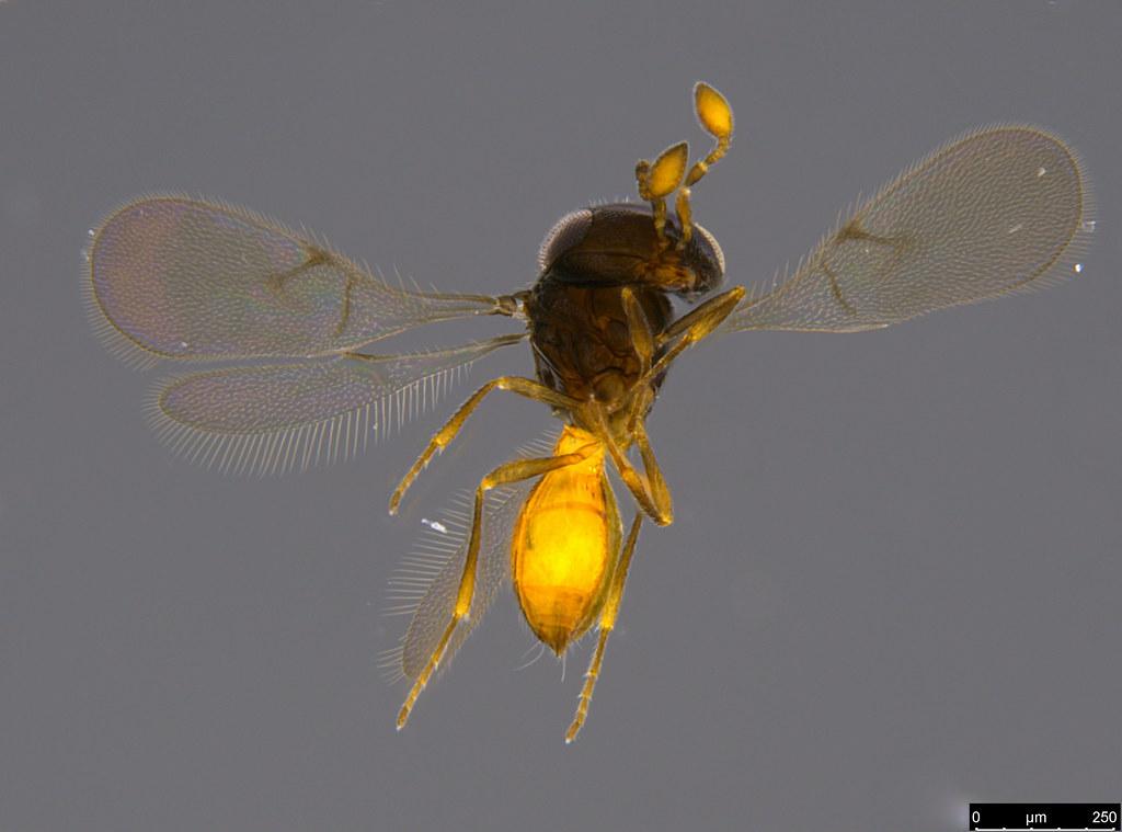 17a - Ceraphronidae sp.