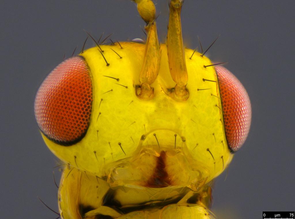 18d - Megastigmus sp.