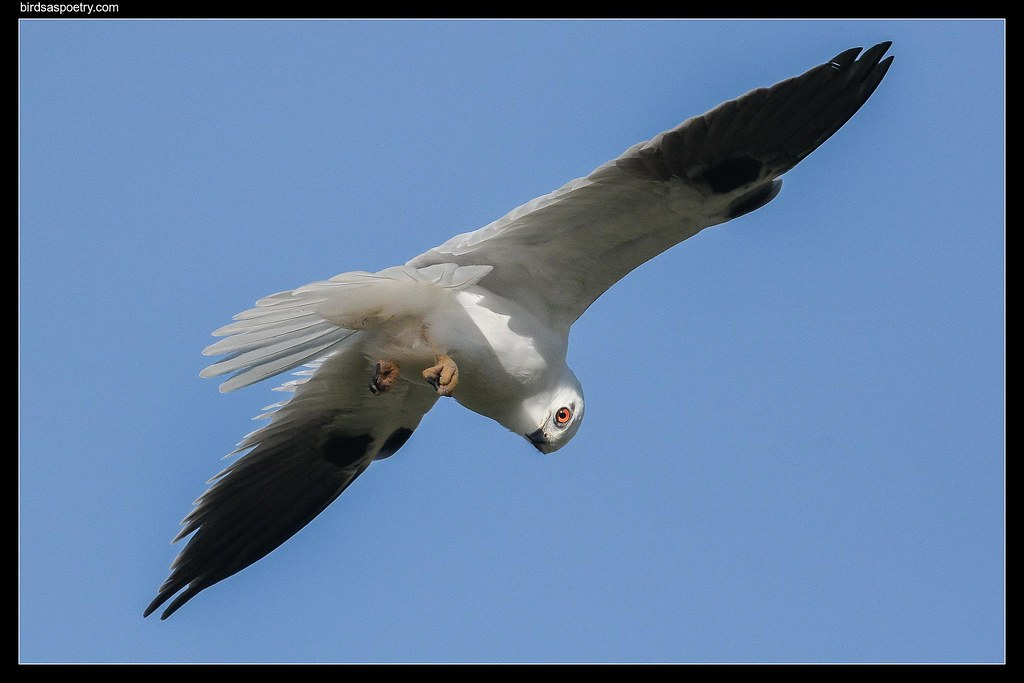 Black-shouldered Kite : Mouse Eye View