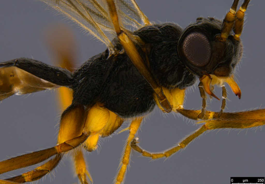 19b - Braconidae sp.