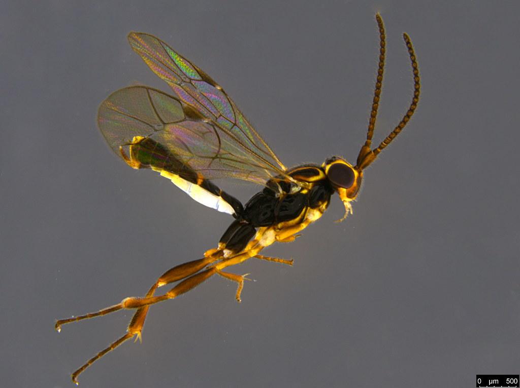 21a - Orthocentrus sp.