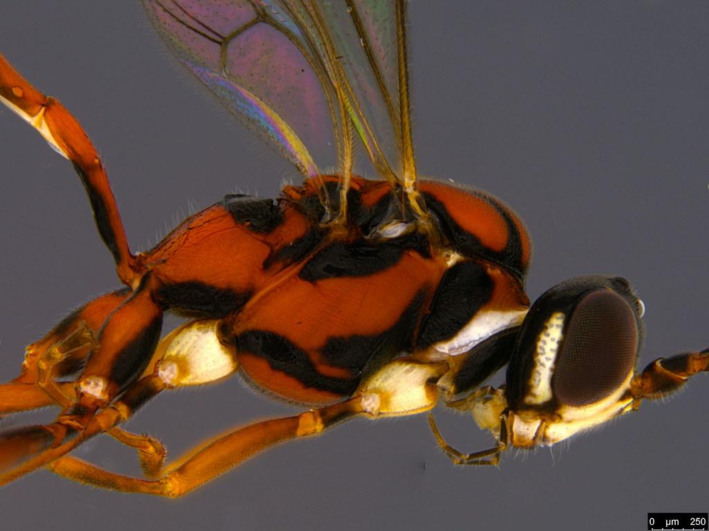 22b - Ichneumonidae sp.