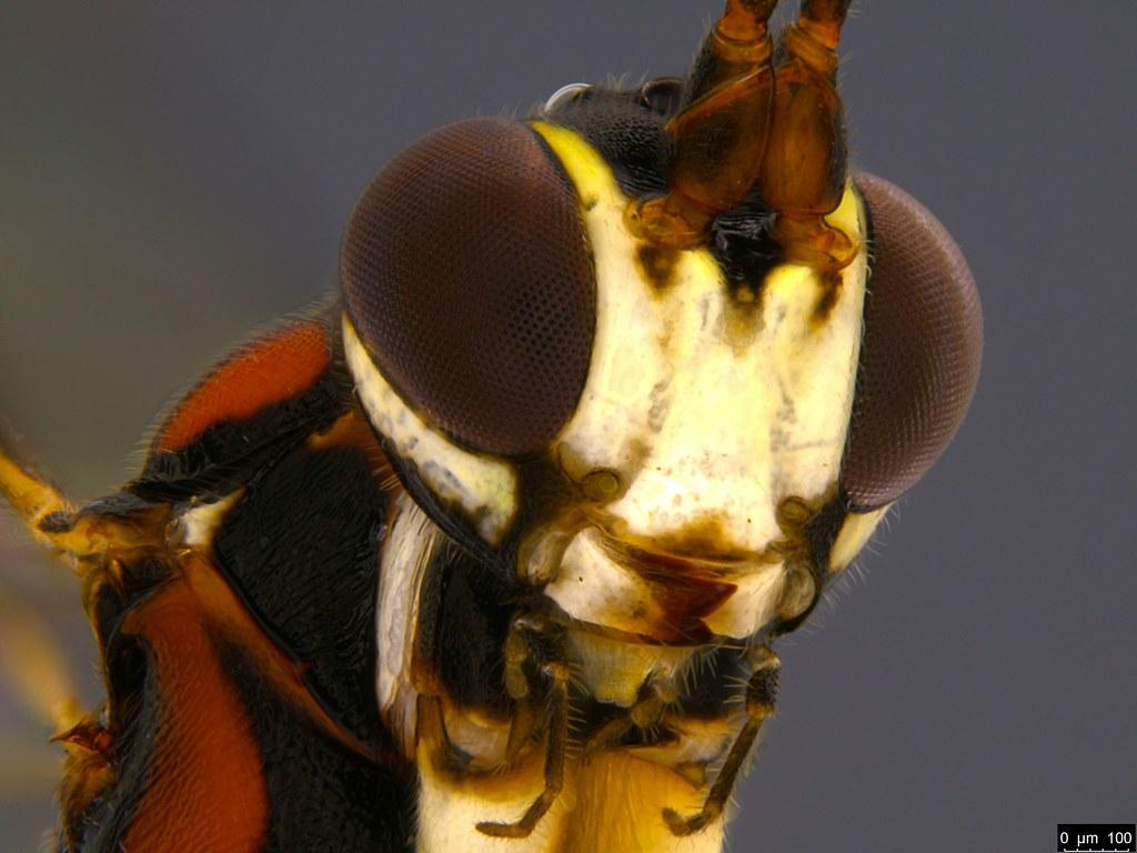 22d - Ichneumonidae sp.