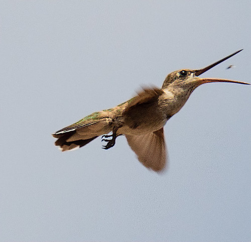 hummingbird_catching_insect-20210704-100