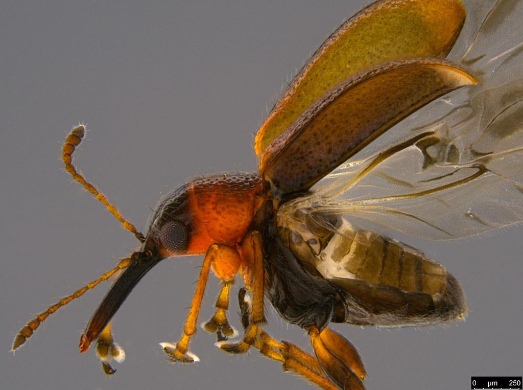 3b - Metopum sp.
