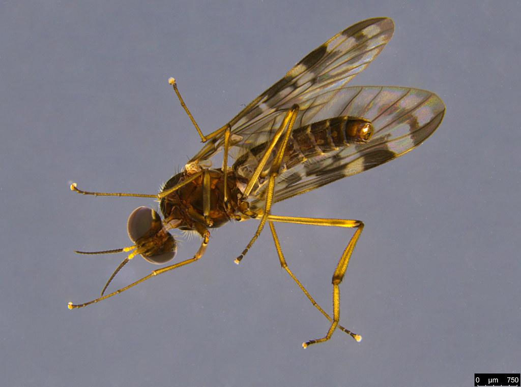 8b - Sylvicola dubius (Macquart, 1850)