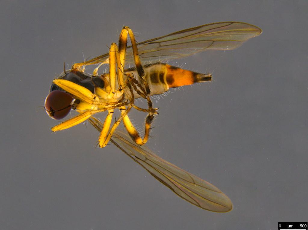 9c - Ocydrominae sp.